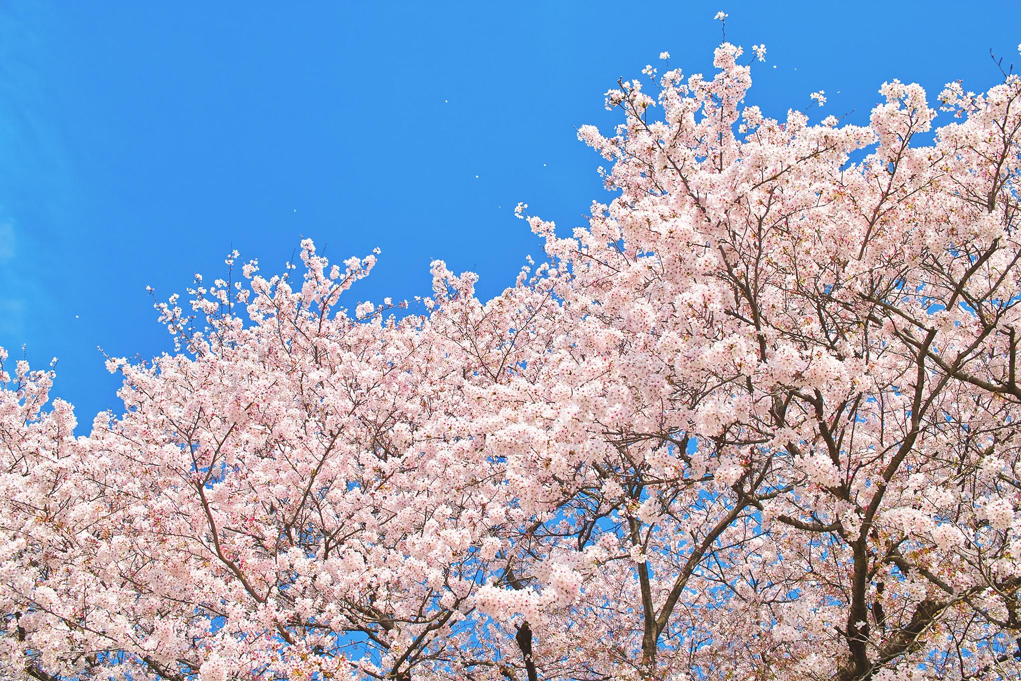 cherry-blossom_00005